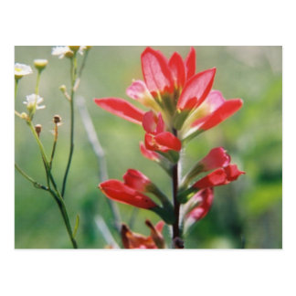 Indian Paintbrush Post Card