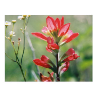 Indian Paintbrush Post Cards