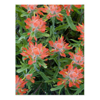 Indian paintbrush wildflowers in the Many Postcards