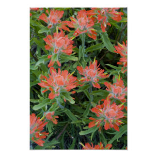 Indian paintbrush wildflowers in the Many Poster