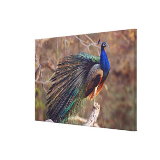 Indian Peacock with partially open feathers, Canvas Print