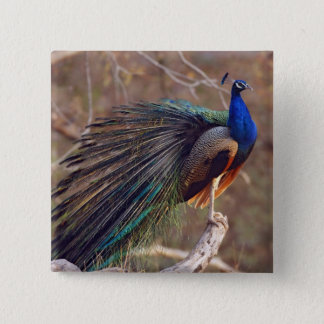 Indian Peacock with partially open feathers, Pinback Button