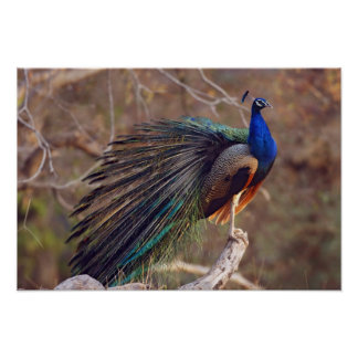 Indian Peacock with partially open feathers, Poster