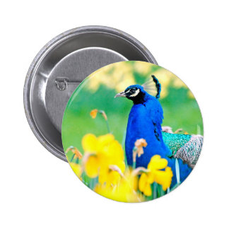 Indian Peafowl among narcissus flowers Button