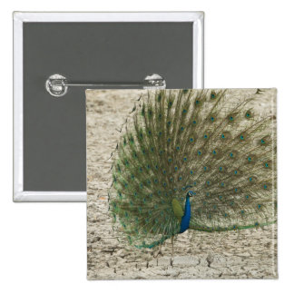 Indian peafowl, peacock, male courtship display buttons