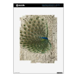 Indian peafowl, peacock, male courtship display decal for iPad 3