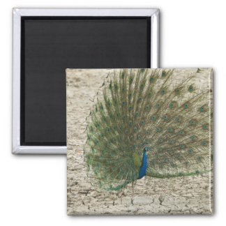 Indian peafowl, peacock, male courtship display magnet