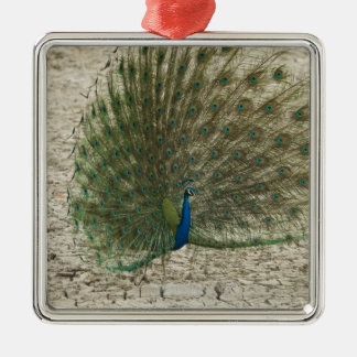 Indian peafowl peacock male courtship display christmas ornament