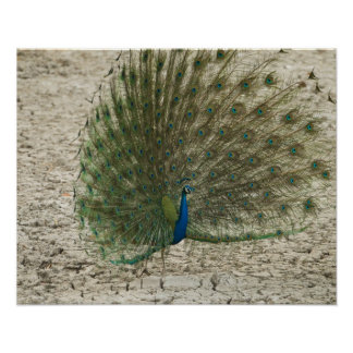 Indian peafowl, peacock, male courtship display poster