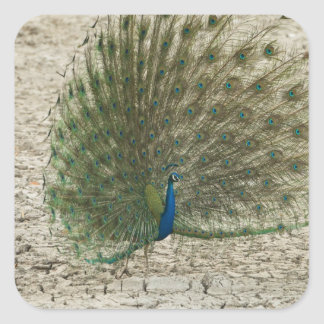 Indian peafowl, peacock, male courtship display square sticker