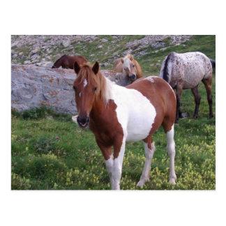 Indian Pony Postcard