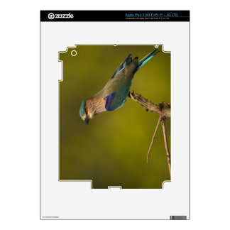 Indian Roller perched on open tree Decal For iPad 3