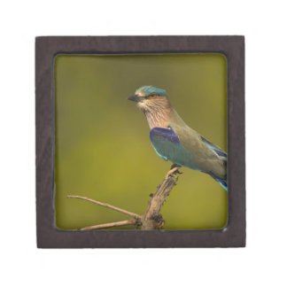 Indian Roller perched on open tree Gift Box