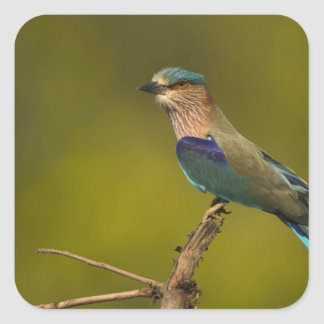 Indian Roller perched on open tree Sticker