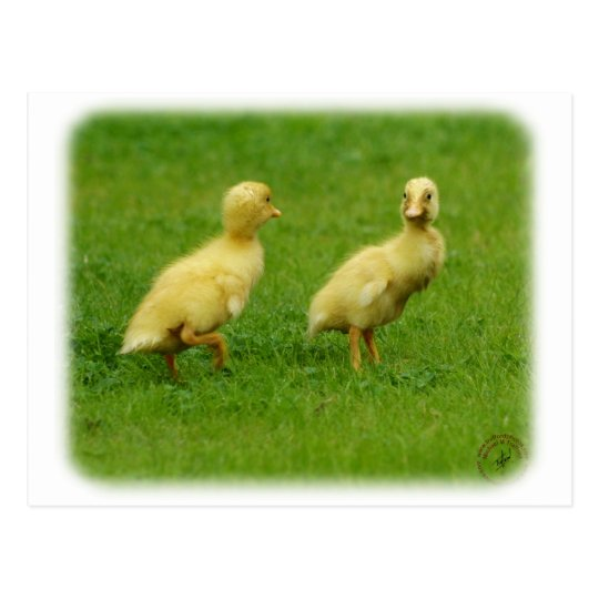 Indian Runner Ducklings 9W027D-034 Postcard