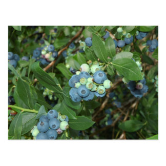 Indiana Blueberries Postcard