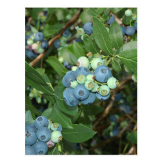 Indiana Blueberries Postcard