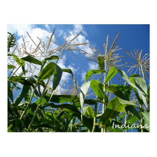 Indiana Corn Postcard