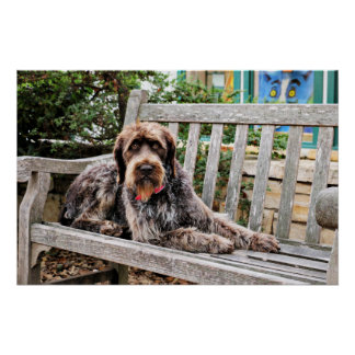 Indicador Wirehaired alemán - Lexy Impresiones