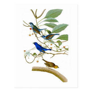 Indigo Bunting John James Audubon Birds of America Postcard