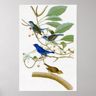 Indigo Bunting John James Audubon Birds of America Poster