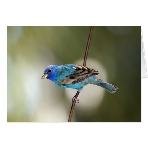 Indigo Bunting perched on bare branch Greeting Card