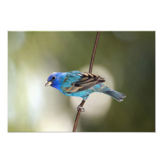Indigo Bunting perched on bare branch Photo Art