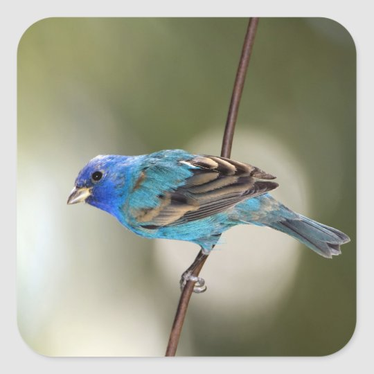 Indigo Bunting perched on bare branch Square Sticker