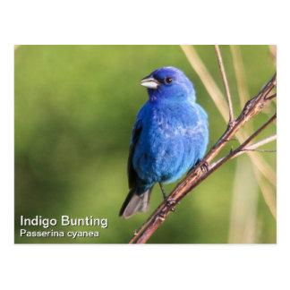 Indigo Bunting Postcard