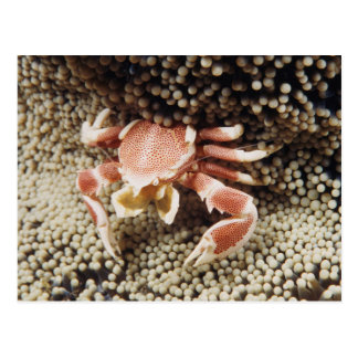 Indo-Pacific Ocean, Close-Up of Anemone crab Postcard