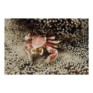 Indo-Pacific Ocean, Close-Up of Anemone crab Poster