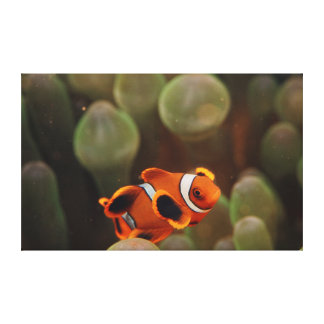 Indo-Pacific Ocean, Close-Up view of Juvenile Canvas Print
