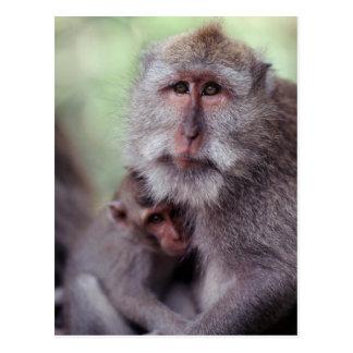 Indonesia, Bali, Ubud, Long-tailed Macaque 1 Postcard
