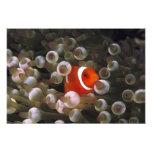 Indonesia, Komodo. Clownfish marrón, o Fotografías