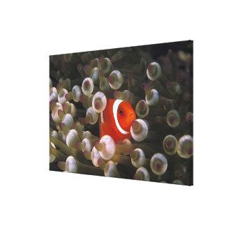 Indonesia, Komodo. Clownfish marrón, o Impresión En Lienzo