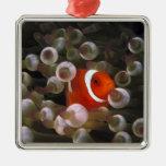 Indonesia, Komodo. Clownfish marrón, o Ornatos
