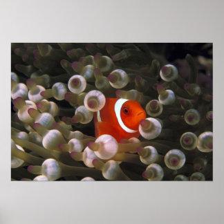 Indonesia, Komodo. Clownfish marrón, o Póster