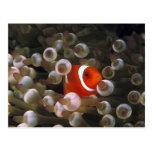 Indonesia, Komodo. Clownfish marrón, o Tarjeta Postal