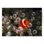 Indonesia, Komodo. Clownfish marrón, o Tarjetón