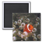 Indonesia, Komodo. Maroon clownfish, or 2 Inch Square Magnet