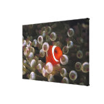 Indonesia, Komodo. Maroon clownfish, or Stretched Canvas Print