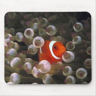Indonesia, Komodo. Maroon clownfish, or Mouse Pad