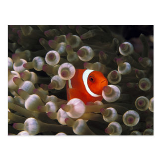 Indonesia, Komodo. Maroon clownfish, or Postcard