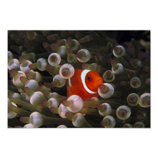 Indonesia, Komodo. Maroon clownfish, or Poster