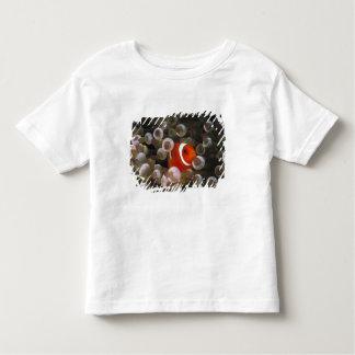 Indonesia, Komodo. Maroon clownfish, or Shirt