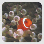 Indonesia, Komodo. Maroon clownfish, or Stickers