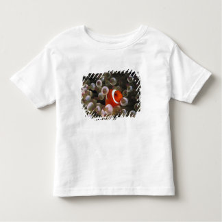 Indonesia, Komodo. Maroon clownfish, or T-shirt
