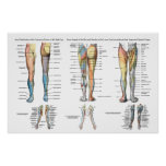 Inervación del nervio de la pierna de un poster má