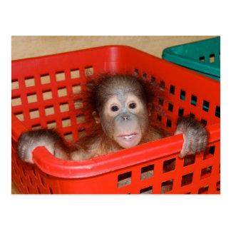 Infant Orangutan in Nursery Post Card