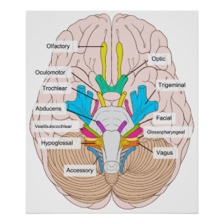 Inferior View of Cranial Nerves in the Human Brain Poster